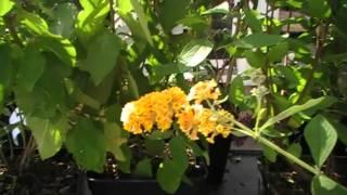 Schmetterlingsflieder Buddleja Sungold