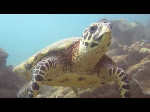 Rare Hawksbill Turtle in Kauai, Hawaii