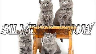 Британские котята. Питомник британских кошек Silvery Snow