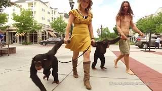 Chimpanzees go the the Legend of Tarzan Movie Premiere | MYRTLE BEACH SAFARI