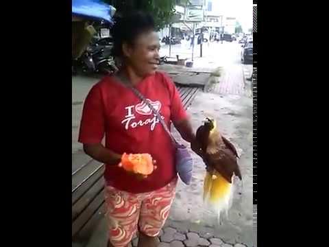 burung cendrawasih jinak total.