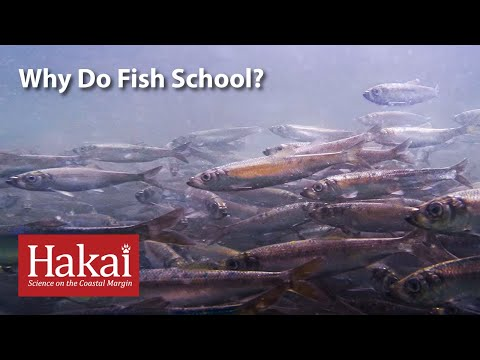 Why Do Fish School?