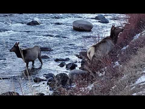 Yellowstone Elk in the Boiling River January 2020