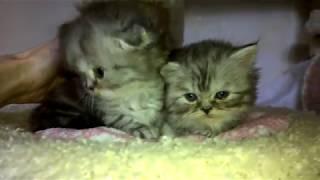Хайленд фолд и хайленд страйт - котята