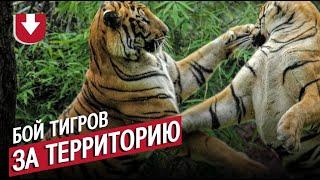 Тигры устроили бой прямо перед камерами!