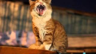 Cat Yelling Like Goat / Кот,орущий как коза.
