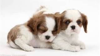 How To Potty Train Cavalier King Charles Spaniel Puppy | FREE MINI COURSE