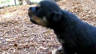 Rottweiler Puppy Howling