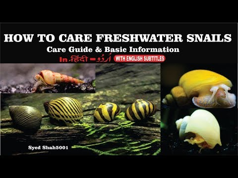 How To Care Aquarium Snails Hindi Urdu W English Sub #Snails