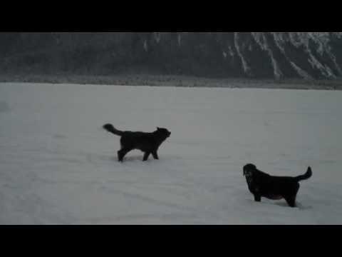 Romeo the Wolf and Raleigh at Mendenhal Glacier Juneau, Alaska