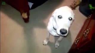 Провинившиеся собаки Смешные видео приколы