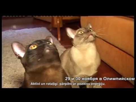 Video, Кошки Бурманской породы