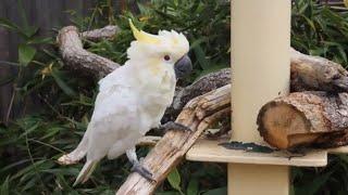 Video Cute Cockatoo Playing and Talking -  Beautiful White Cockatoo Parrot (Australian birds Video) download MP3, 3GP, MP4, WEBM, AVI, FLV Oktober 2018