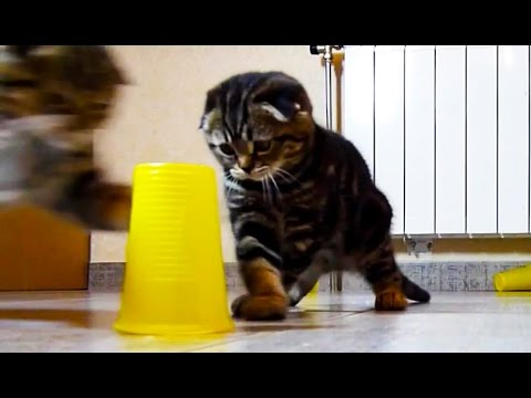 Cute Scottish Fold  Kittens Playing Bowling