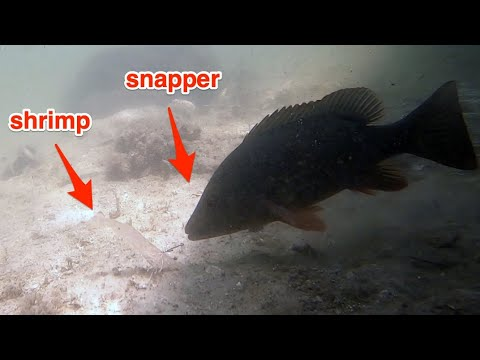 incredible-underwater-mangrove-snapper-behavior!