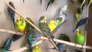 волнистые попугайчики продажа оптом!
