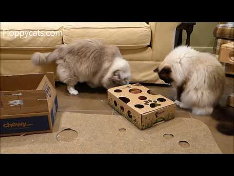 Ragdoll Cats Receive Vital Essentials Cat Treats from Chewy.com and Cat Amazing Puzzle Toy