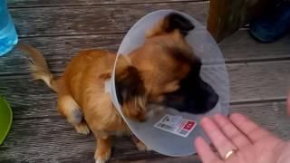 2016_06_29 - Самочувствие чихуахуа после кастрации(Привет! Мы решили кастрировать собаку. Операция была под общим наркозом. 3 дня был