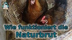 Naturbrut - wie funktioniert das? Gluckende Hühner!