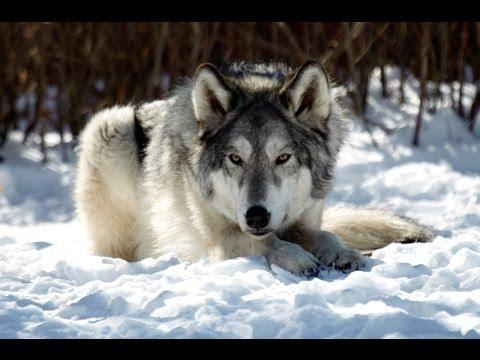 Yamnuska Wolf Dog Sanctuary Canmore Alberta Canada