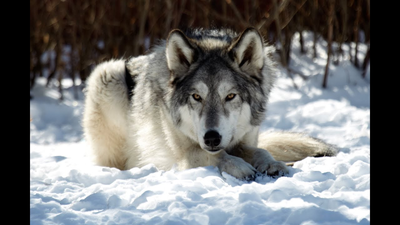 Where is the wolfs dog How to measure the growth of a dog