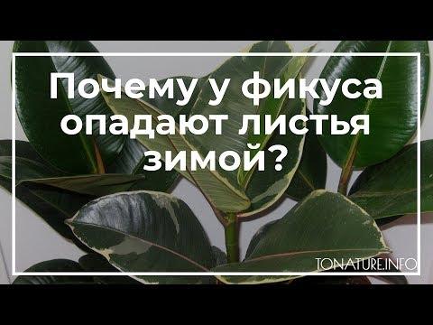 Почему у фикуса опадают листья зимой? | toNature.Info
