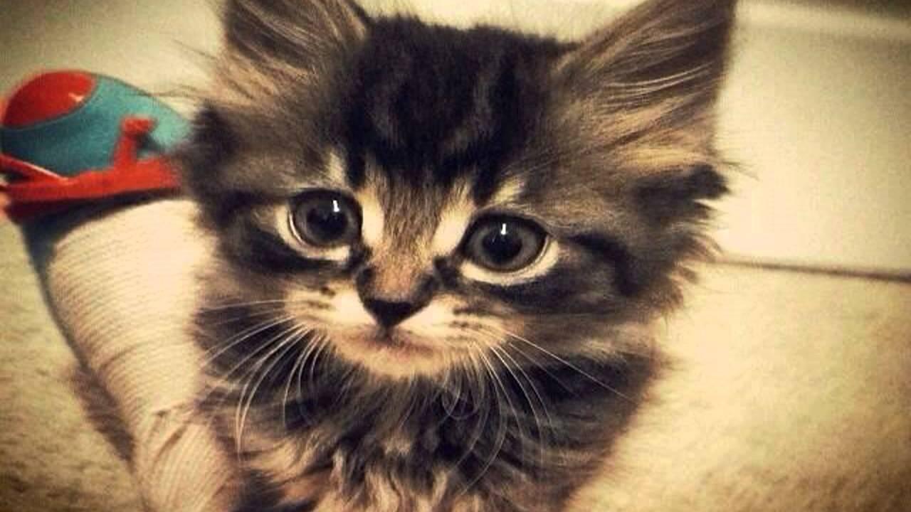91  Gambar Kucing Persia Peaknose Terlihat Keren