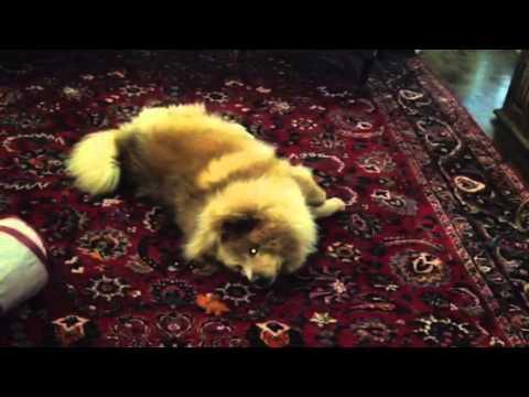 Chrysalis the Chow Chow enjoys gator treat | Happy Dog