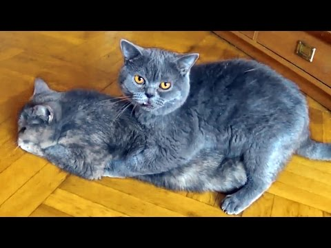 cat's-mating.-timothy's-first-mating.