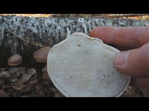 Birch Polypore Tea.Чай из березового трутовика. Часть1
