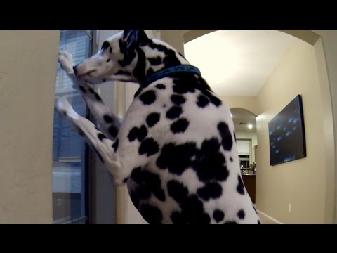 Dalmatian's Super Happy Welcome Home