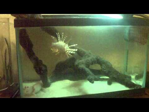 Lion Fish Update & Axolotls.....