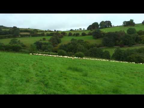 Harry chasing sheep.