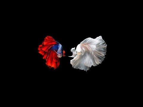 World Most Beautiful 50 Colorful Betta Fish Photo(Never Seen Before)