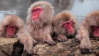 野生のお猿さんが露天風呂に入るという世界的にも類例がないことで有名...