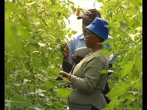 Greenhouse Tomato Farming - Kenya