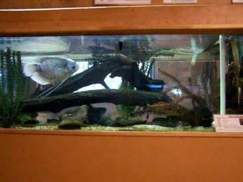 GIANT AROWANA AT MY LOCAL FISH STORE - YouTube |Giant Arowana
