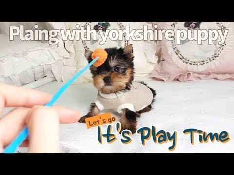 Teacup yorkshire terrier size is so smallest - Teacup puppies KimsKennelUS