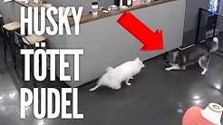 Sibirischer Husky tötet Pudel | Video Analyse by Vitomalia.com