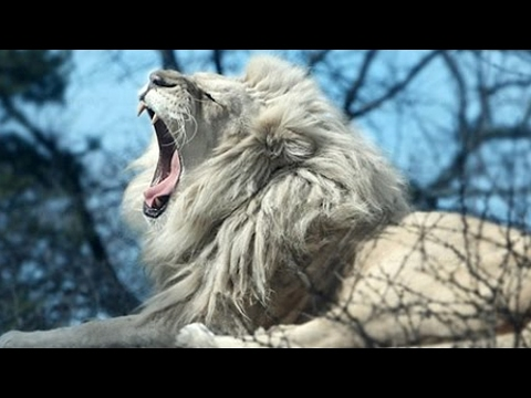 White Lion: The Rarest and Most Treasured Animal in the world