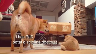 Daddo does a teach to potats - Shiba Inu puppies (with captions)