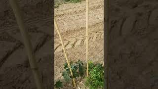 Szpaler - porzeczka Czerwona Rovada - choroby, szkodniki, problemy w uprawie