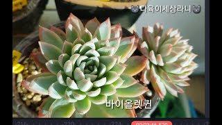 #다육식물#多肉植物#succulents/ 남향집 베란다…
