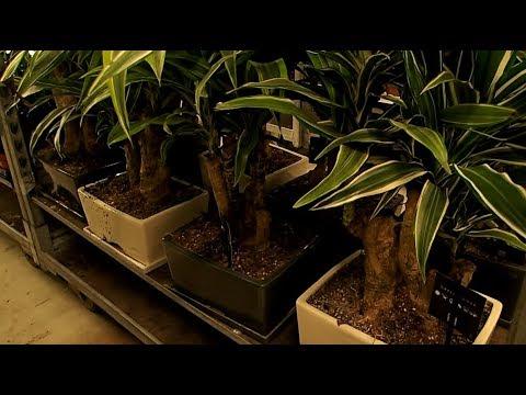 Dracaena deremensis mix Bonsai look