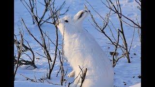 Как наловить мешок зайцев силками зимой?
