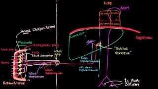 Göbek Bağı Damarları ve Duktus Venozus (Dolaşım Sistemi Fizyolojisi)