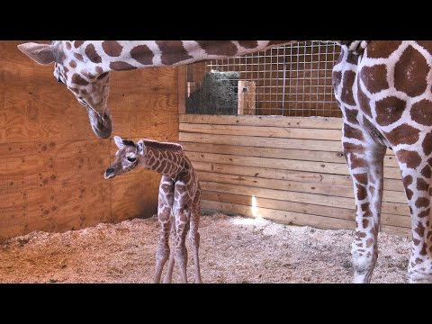 Thumbnail: April the Giraffe and her baby: Behind the scenes
