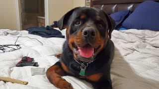 Rottie takes over our bed every night