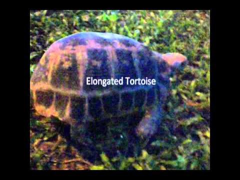 Elongated Tortoise (เต่าเหลือง)