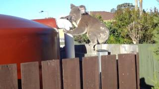 Koala on my fence